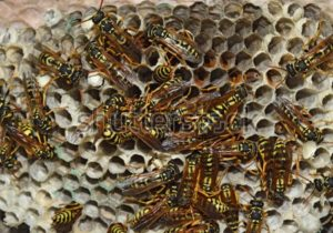Wasps on their nest.